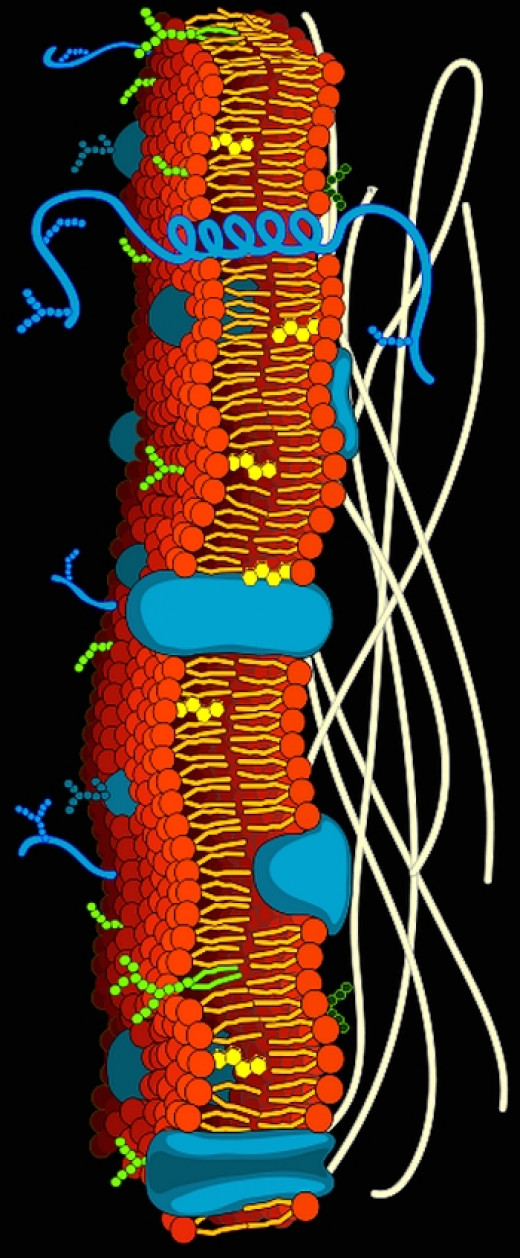 Cell membrane showing its structure and function