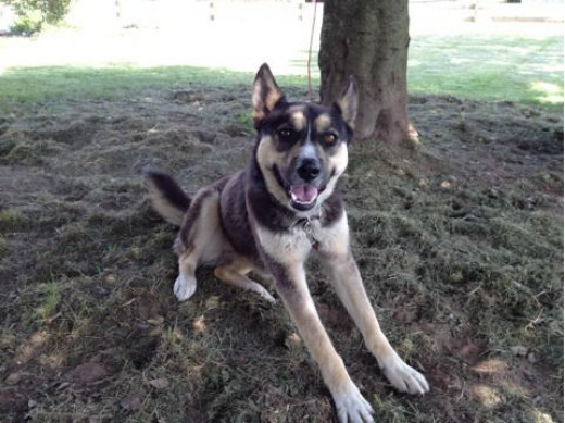 Siberian Husky German Shepherd Mix