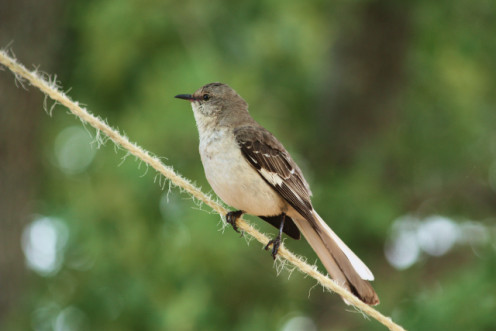 Mockingbirds are fun to watch.