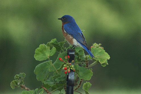 Male Bluebird perched on plant stand.