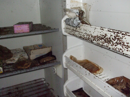 A basement refrigerator full of food and bugs.  It had been untouched for 4 years in an abandoned, foreclosed house.