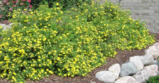 Potentilla brightens up the landscape with cheerful flowers all summer long.