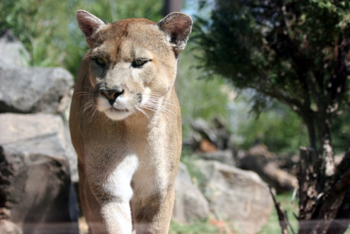 Puma, Mountain Lion, Cougar. Picture taken through glass.