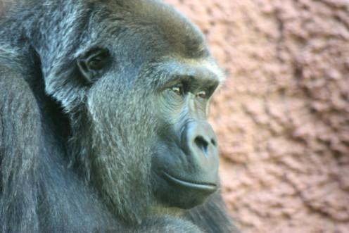 Chimpanzee close-up to capture personality.
