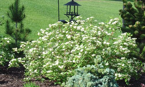 Dogwoods make a fine privacy screen and include pretty flowers in summer and the option of bright red stems in winter.