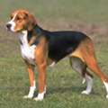 The American Foxhound is the state dog of Virginia.