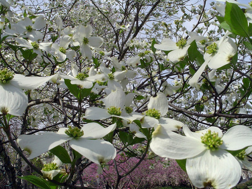 Dogwood looks lovely in springtime floral arrangements.