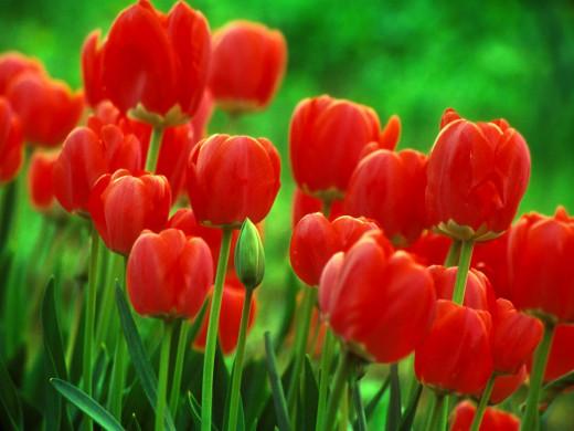 The Tulip: PERFECT LOVE