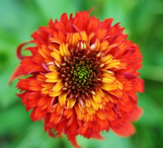 The first double flower orange echinacea ever, 'Hot Papaya' is a spicy-hot beauty.