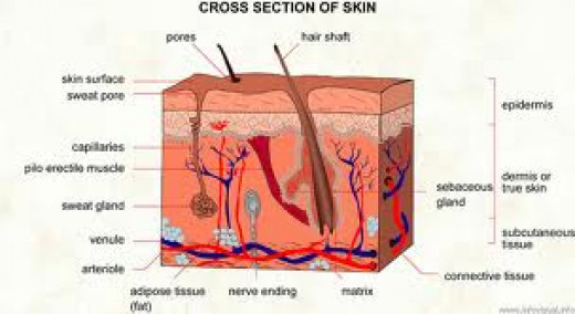 Structure of the skin - clogged pores lead to infections and acne