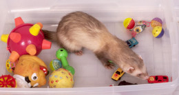 Ferret Playing With Toys