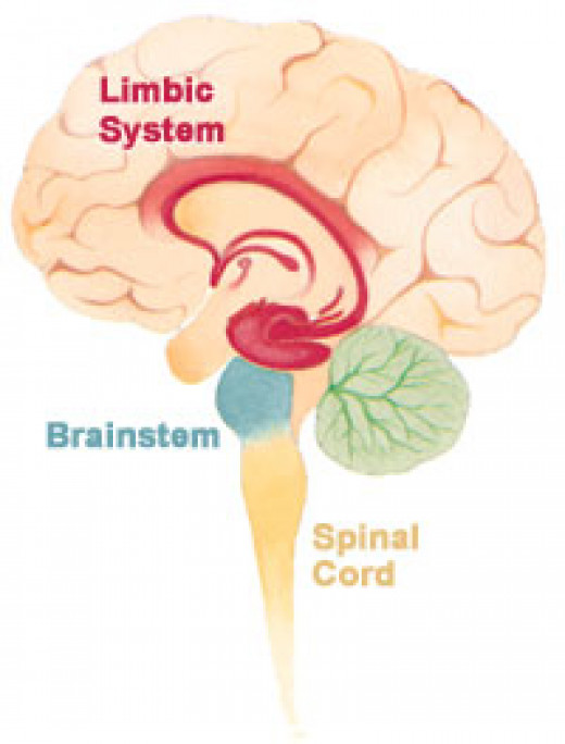 The Hippocampus is located deep in the brain in what's known as the Limbic System.
