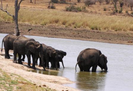 Short trunk Elephant