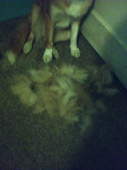 More of Karmas hair removed by the Furminator