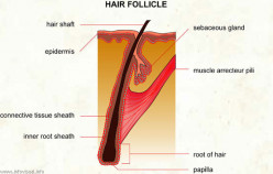 Surgical treatments for hair loss with live hair follicles