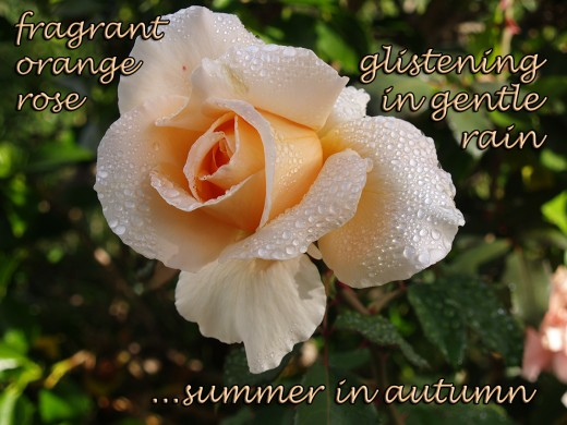 haiga: one of the author's haiku combined with a photograph of a Brandy rose from her front garden