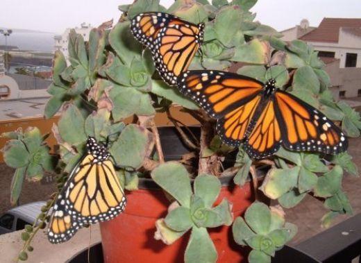 A group of Monarch butterflies.
