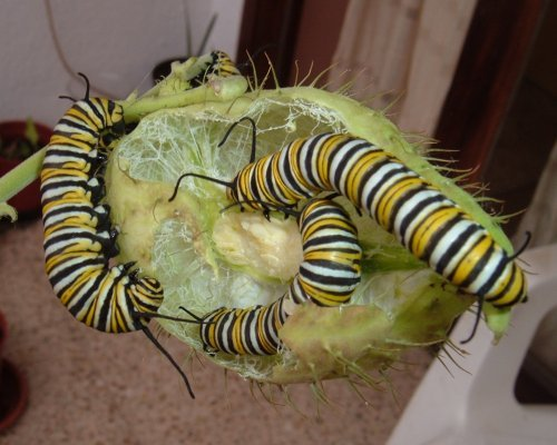 Monarch caterpillars eating Swan Plant seed-pod