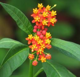 Scarlet Milkweed
