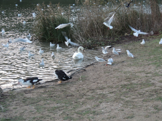 Some of the many bird varieties on Swanbourne Lake
