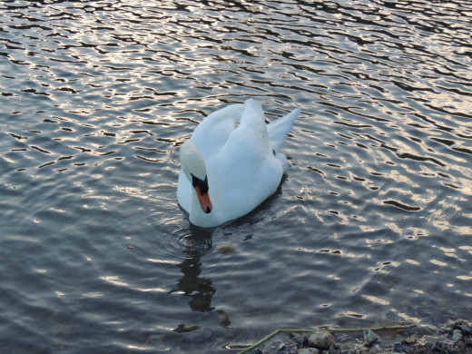 A swan on Swanbourne Lake