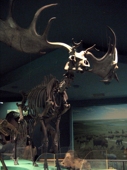 The skeletal remains of an Irish Elk.