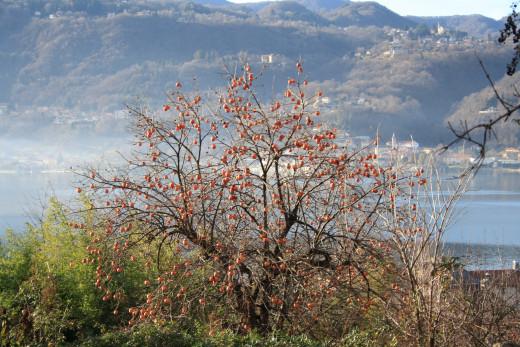 Kaki Fruit Tree, Lago d' Orta, Italy