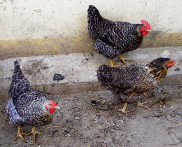 Be sure that you know everything possible about the health problems of chickens.
