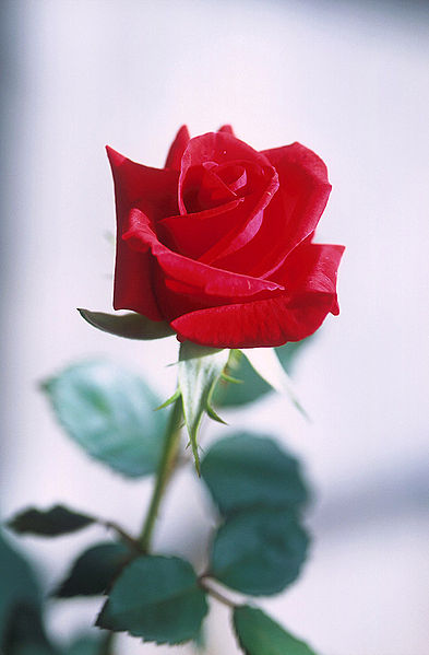 Red Roses are always a favorite gift on Valentines day between lovers.