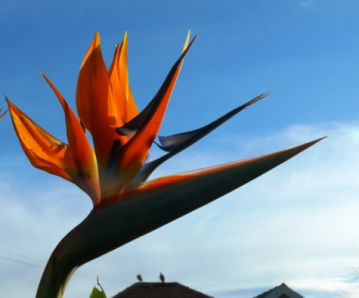 The flower enjoys sunny skies