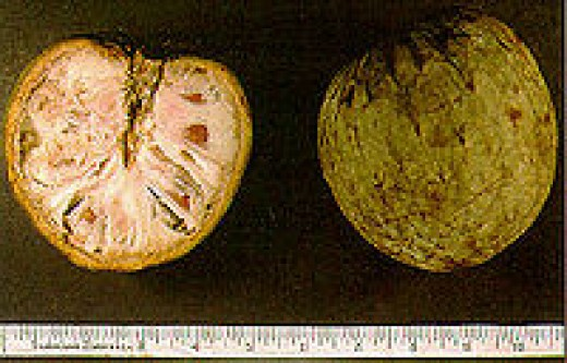 Custard Apple, (Annona reticulata) wild-sweetsop, bullock's-heart, or ox-heart