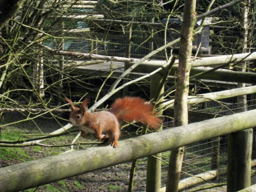 A Red Squirrel in a captive environment.