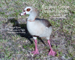 Egyptian Geese Birds in Florida