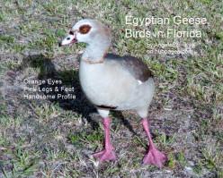 Egyptian Geese Birds in Florida
