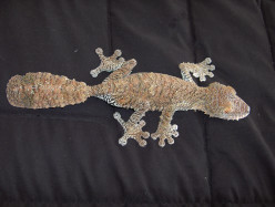 Giant Leaf Tailed Gecko Pet Care