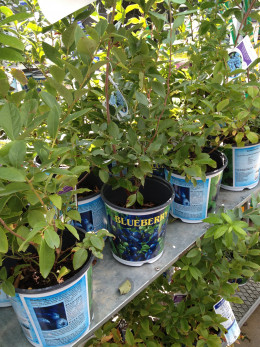 Blueberry bushes on sale last fall!  Berry bushes are excellent to grow in your backyard or even a container.  There are so many varieties and they are all great for your skin!