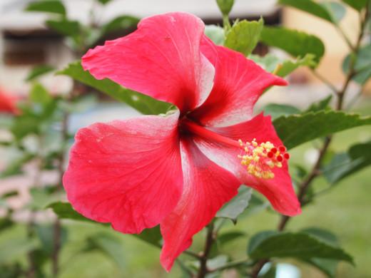 Health Benefits Of Drinking Hibiscus Tea Mudraacom