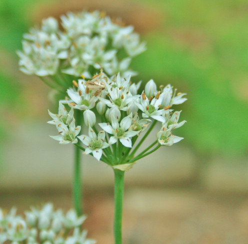 Garlic chives, also called Chinese leeks, produce small white flowerheads.
