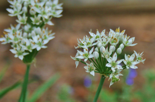 Whole chive blossoms add flavor and beauty to bottles of vinegar and oil.