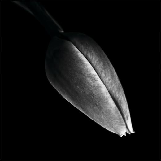 """""""Hanging Tulip"""""""