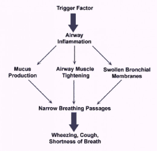 A flow diagram showing the late phase response of an asthma attack.