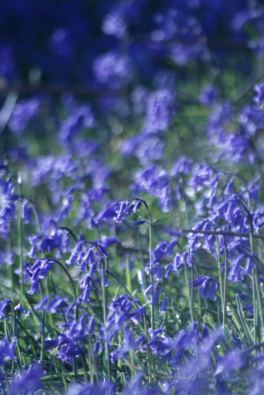The intense blue of native English bluebells.