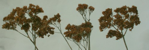 Sedum flower heads provide visual interest in our flower beds against a backdrop of January snow.