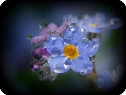 Water droplets on forget me knots ...