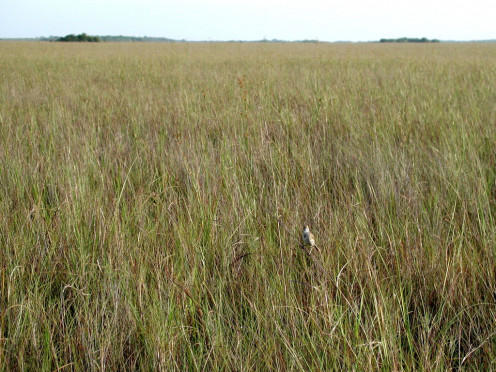 Freshwater Sawgrass Prairie