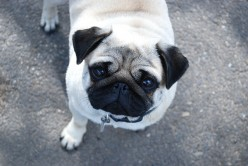 Pug Breed Information | Doggie Matchmaker