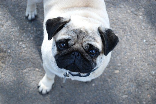 The charming Pug is a comical and faithful companion.