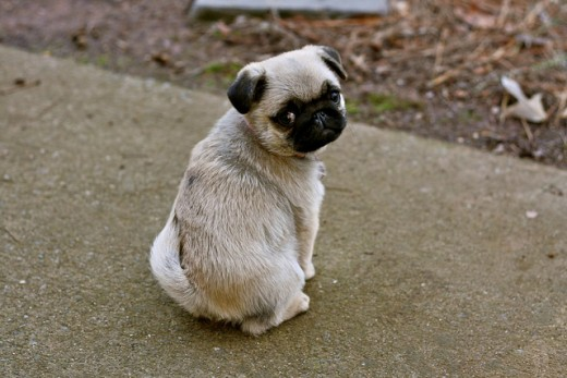 This is the level of cuteness you will be dealing with while trying to correct a Pug puppy.