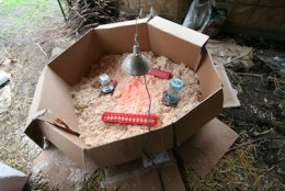 You can set up a homemade brooder for your baby chicks.