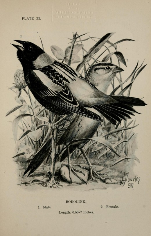 Bobolink -plate created by  Louis Agussiz Fuertes
